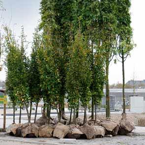 Großbaum-verpflanzungen